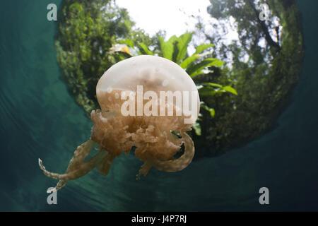 Underwater recording, Mastigias-display screen jellyfish, Matigias Papua, - Stock Photo
