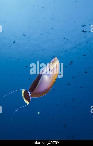 Underwater recording, masks-nasal doctor, Naso vlamingii, - Stock Photo