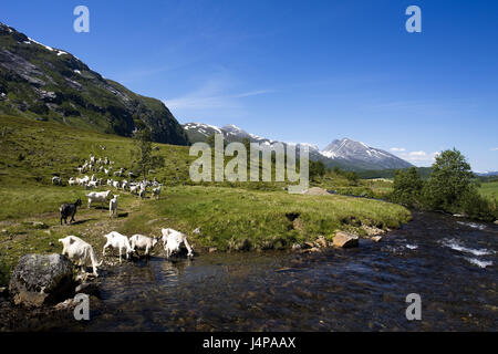 Norway, More og Romsdal, goat focuses, - Stock Photo