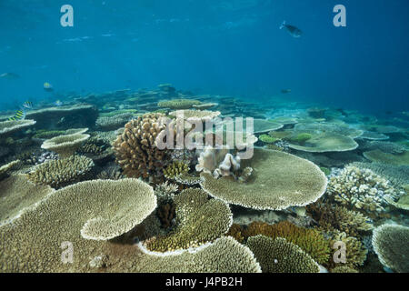 Table corals on reef roof, Acropora sp., the Maldives, Ellaidhoo house reef, the north Ari Atoll, - Stock Photo