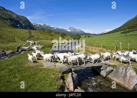 Norway, More og Romsdal, goat focuses, - Stock Photo