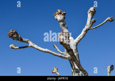 Closeup of tree with white peeling bark and bare knobs cut off branches - Stock Photo