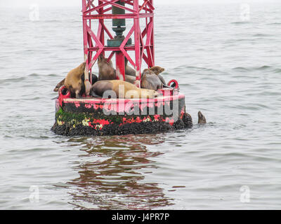 Sea lions resting on a red buoy in Oxnard, CA - Stock Photo