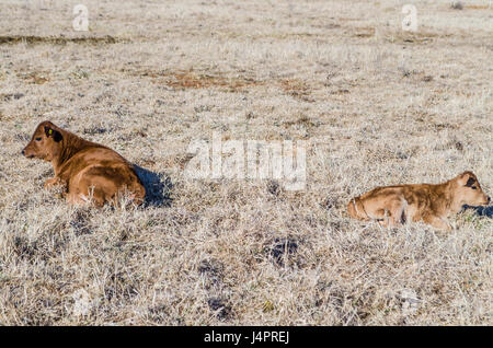 Two brown cows and calf lying down in hay dried grass on field meadow in winter - Stock Photo