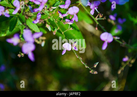 Macro closeup of hanging violet purple wisteria flowers buds on green tree with leaves - Stock Photo