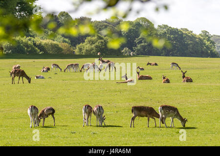 Knutsford, Cheshire, UK.  Warm sunshine for deer in the grounds of Tatton Park. A deer park since 1290, Tatton's - Stock Photo