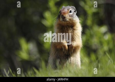 Gophers, Columbia Ground Squirrel, Spermophilus columbianus, alto animal, vertical on meadow, - Stock Photo