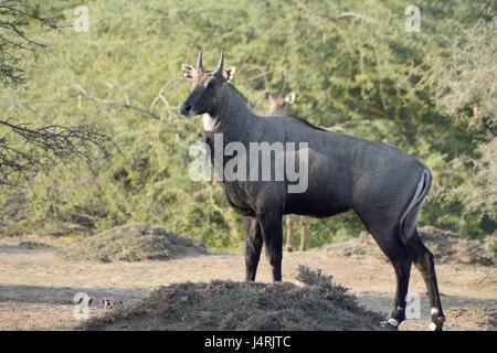 Nilgai - Blue Bull of India - Stock Photo