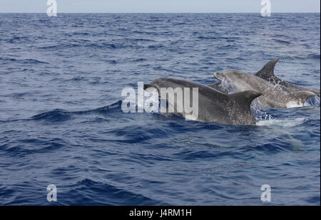 Bottle nose dolphins swimming at the surface of the ocean - Stock Photo