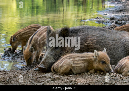 Wild boar (Sus scrofa) sow with piglets sleeping in the mud in spring - Stock Photo