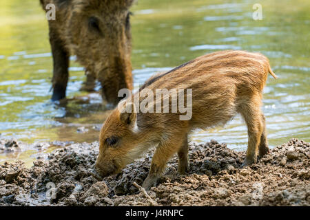 Wild boar (Sus scrofa) piglet foraging in the mud along lake shore in spring - Stock Photo