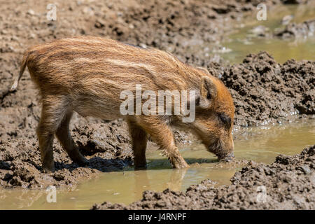Wild boar (Sus scrofa) piglet foraging in the mud in spring - Stock Photo