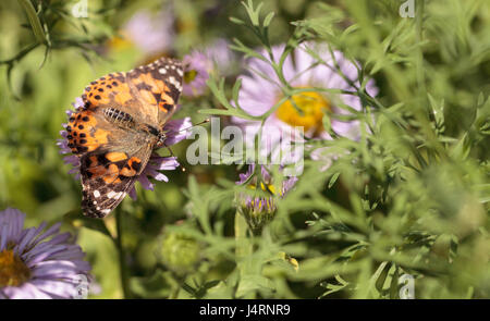 ... West Coast Lady Butterfly, Vanessa Annabella, In A Butterfly Garden On  A Flower In