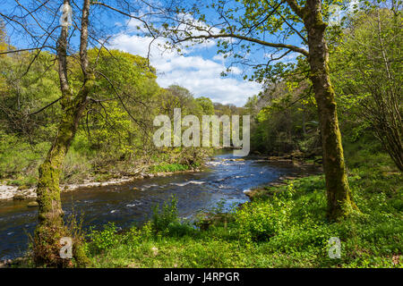 River Wharfe at Strid Wood, near Bolton Abbey, Wharfedale, Yorkshire Dales National Park, North Yorkshire, England, - Stock Photo