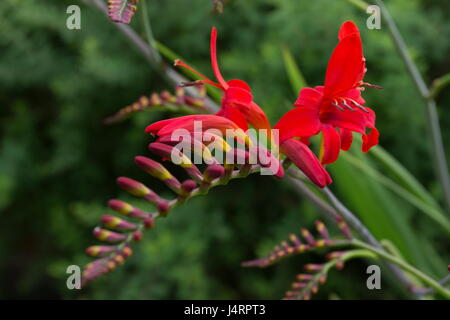 Crocosmia lucifer with red flowers - Stock Photo