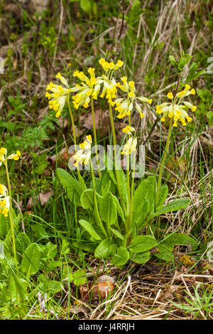 Blooming flowers of Cowslip (Primula veris) - Stock Photo