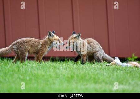 Red fox (Vulpes vulpes) kits, babies, or pups play fighting in a grass field next to an old barn - Stock Photo