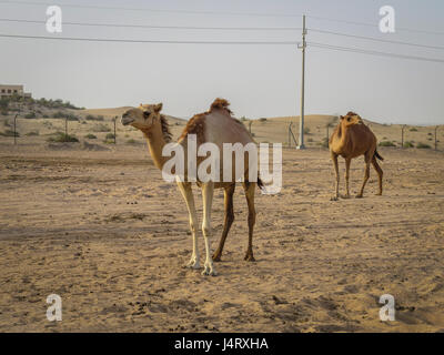 Camels feeding on a camel farm at dusk - Stock Photo