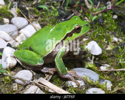 Italian tree frog (Hyla intermedia) wandering on the underbrush or meadow - Stock Photo