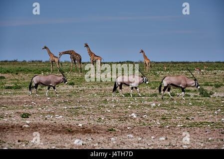 Oryx and giraffes in Etosha National Park, Namibia - Stock Photo