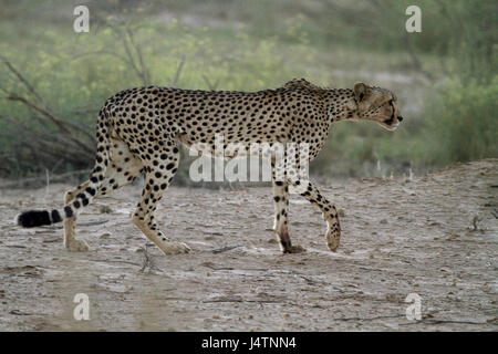 Male Cheetah stalking in the Kgalagadi Transfrontier Park bush - Stock Photo