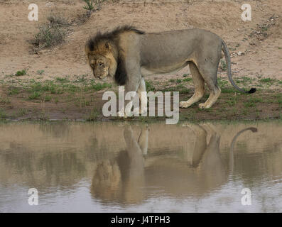 African male lion with shadow in water hole - Stock Photo