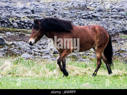 Iceland horses are special because of their colors and gaits as well as for the stamina and dispositions. - Stock Photo