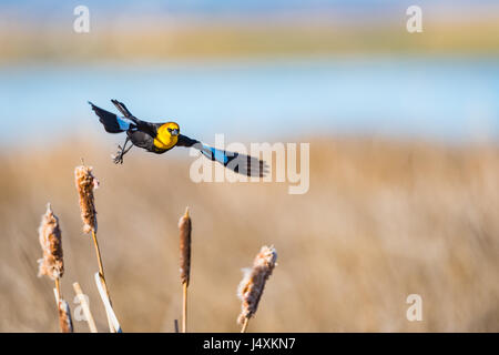 Yellow-headed Blackbird in flight over cattails in a prairie marshland, Alberta Canada - Stock Photo