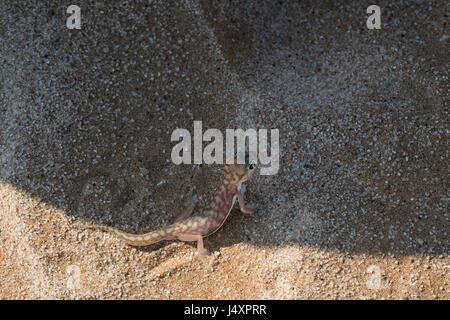 Geco palmato (Pachydactylus rangei), Namib Web-footed Gecko - Stock Photo