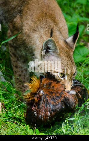 Lynx feeding - Stock Photo