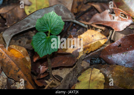 New leaf growth emerging form the leaf litter on the floor of the Amazon Rainforest in Brazil - Stock Photo