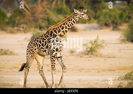 Young, baby giraffe in the wilds of Tanzania - Stock Photo