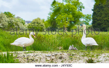 White Mute Swan (Cygnus olor),family with adults and cygnets in late Spring in soft evening light in the UK. White - Stock Photo