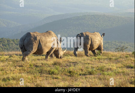 Two White Rhinos walking off into the rising sun on the African Savannah or grass plains, peaceful and blissfully - Stock Photo
