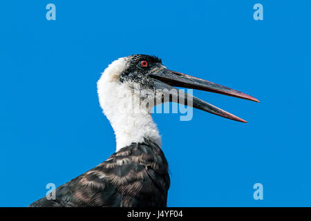 Close up Portrait view of woolly necked stork perched on top of  roof against blue sky - Stock Photo