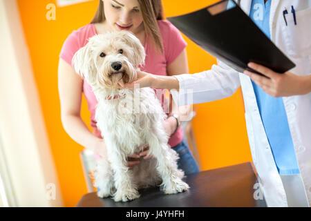 Veterinarian examining sick Maltese dog in vet clinic - Stock Photo