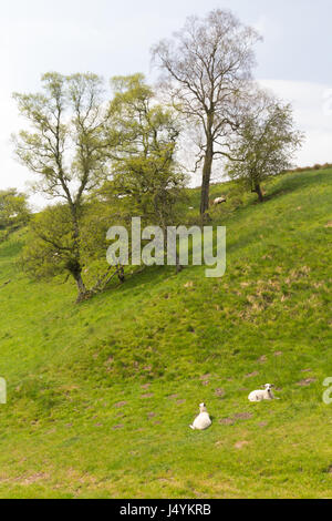 Lambs in Spring pasture - Stock Photo