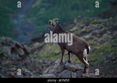 Putorana snow ram (Putorana big horn ram). Kutaramakan. Endemic animal of Putorana plateau. North of Russia. Siberia. - Stock Photo