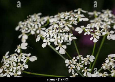 Umbelliferous white flowers of Cow Parsley / Anthriscus sylvestris. - Stock Photo