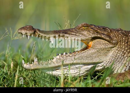 Sunbathing Nile Crocodile (Crocodylus niloticus), Lake Baringo, Kenya - Stock Photo