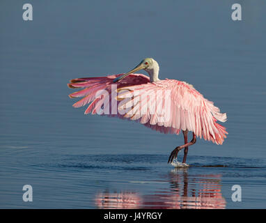 Roseate spoonbill spreds its wings in Florida - Stock Photo