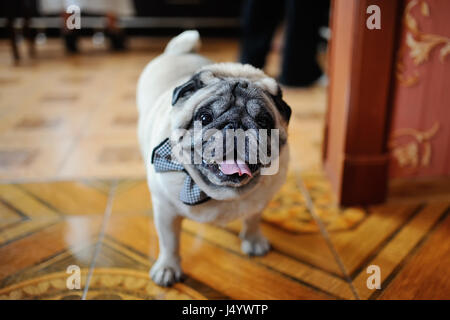 pug in bow tie - Stock Photo