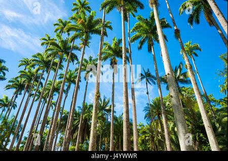 Royal palm trees soar into bright tropical sky in a dramatic alignment in Rio de Janeiro, Brazil - Stock Photo