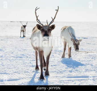 Reindeer in winter tundra - Stock Photo