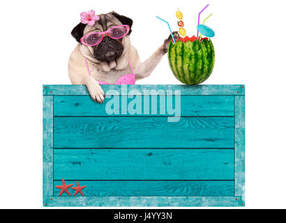 bikini babe pug dog with blue vintage wooden beach sign and watermelon cocktail, isolated on white background - Stock Photo