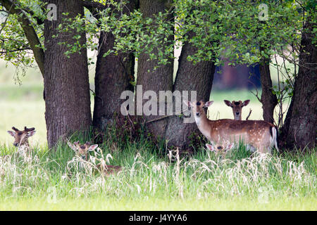 A group of Fallow Deer (Dama dama) standing under a tree in a nature protection area near Frankfurt, Germany, Europe. - Stock Photo