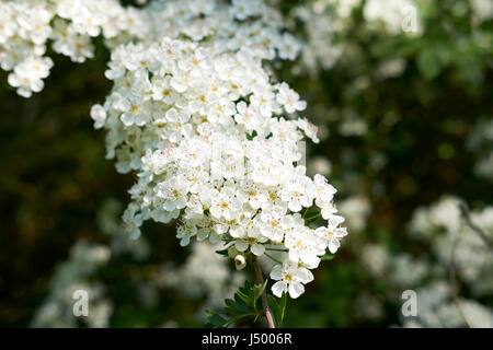 White blossom of the Hawthorn (Crategus monogyna) shrub, commonly found in hedgerows throughout the UK. - Stock Photo