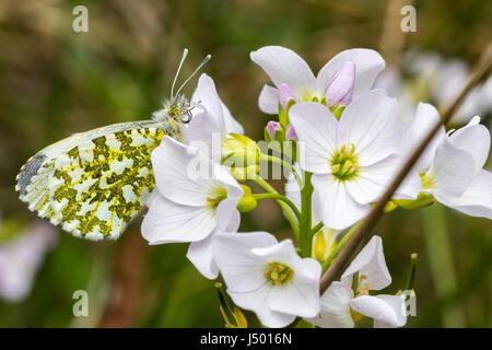 Orang tip butterfly female (orange on males) alighted on flowers resting before flying away. Anthocharis cardamines. - Stock Photo