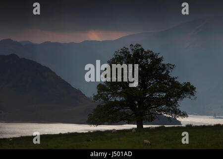 An oak tree on the shores of Ullswater in the English Lake District in an approaching rainstorm, with dark clouds - Stock Photo
