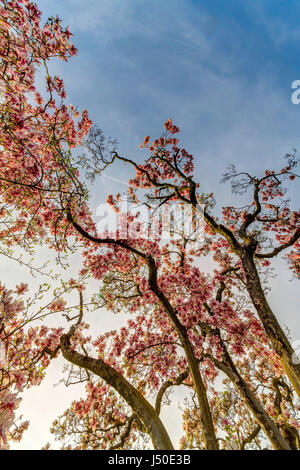 Magnolia in full bloom. Wilhelma, zoological and botanical garden of Stuttgart. - Stock Photo